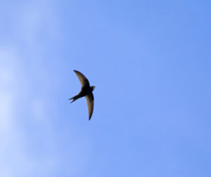 All About Chimney Swifts - Harrisonburg VA - Old Dominion Chimneys